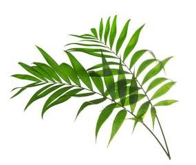 Green leaves of palm tree Howea