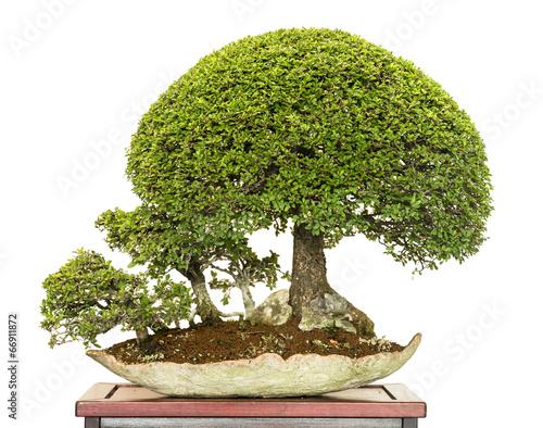 chinesische ulmen als bonsai b ume stockfotos und. Black Bedroom Furniture Sets. Home Design Ideas
