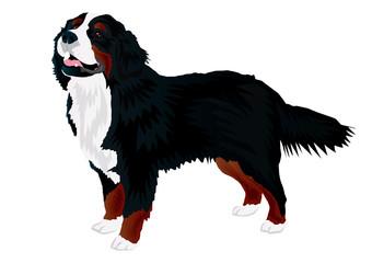 Berneński pies pasterki