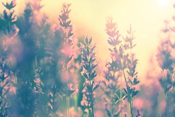 Vintage lavender sunset