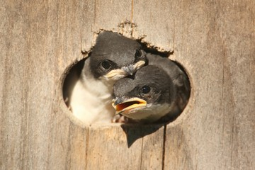 Fotoväggar - Baby Tree Swallows