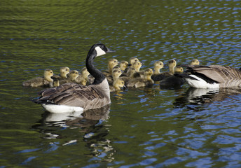 Geese and the Goslings