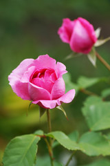 Pink roses in the garden.