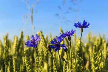 Cornflowers in the midst of beautiful ripe wheat