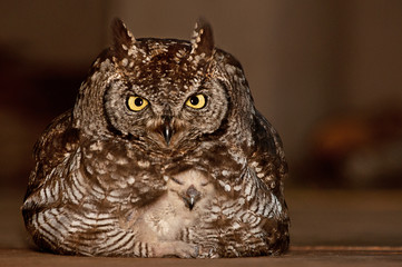 Spotted Eagle owl mother with baby