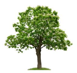 Freigestellter Trompetenbaum mit Blüten