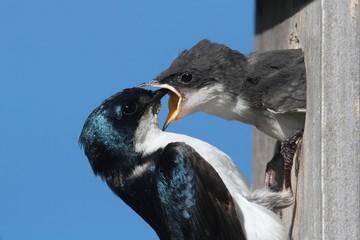 Fotoväggar - Tree Swallow Feeding A Baby