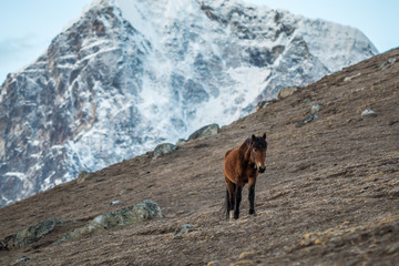 Horse in Himalayas - Nepal