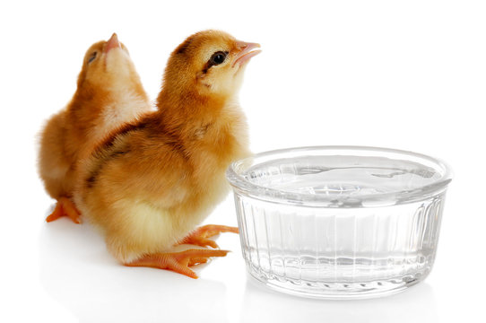 Little cute chickens isolated on white