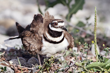Mother Killdeer