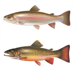 Rainbow trout and brook trout isolated on white. Vector