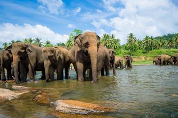 elephants in the river in srilanka