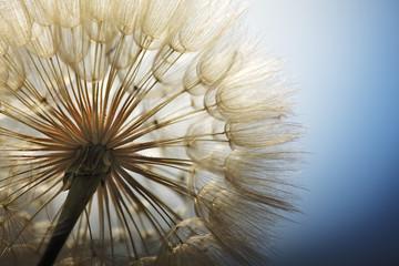Photo sur Aluminium Pissenlit big dandelion on a blue background