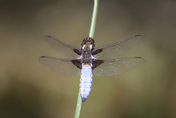 Blue dragonfly on reed stick