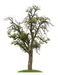 Uralter Birnbaum mit Früchten als Freisteller