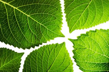 Hortensienblätter vor Weiß