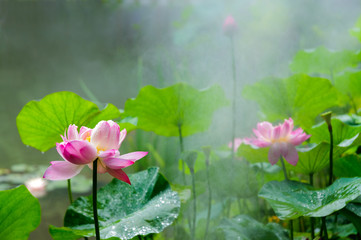 The pond, lotus flower in full bloom in the drizzle