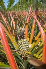 Ripe pineapples growing on the bush at the plantation