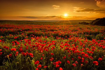 Foto op Canvas Klaprozen Poppy field at sunset