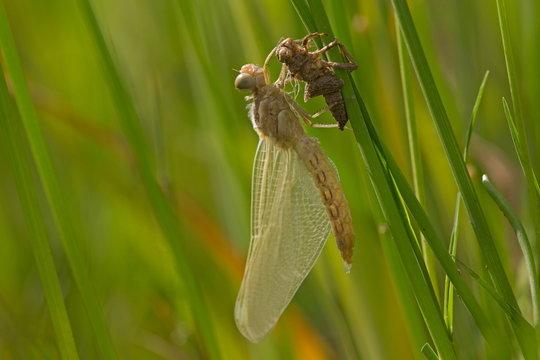 Pop van een libelle, Bulgarije