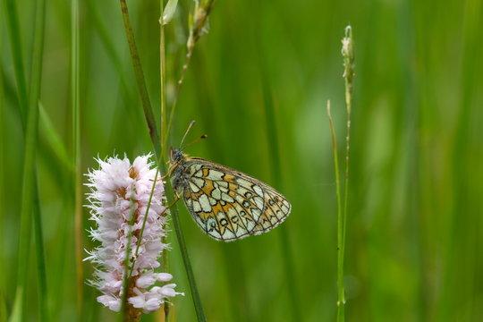 butterfly in nature area Eifel, Germany