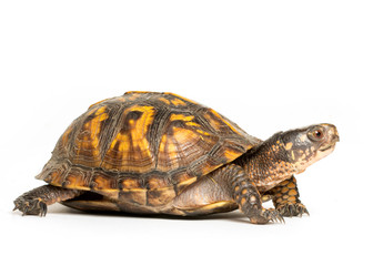 Photo sur Plexiglas Tortue Eastern box turtle