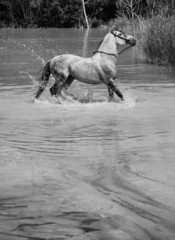 Beautiful horse galloping in the pool