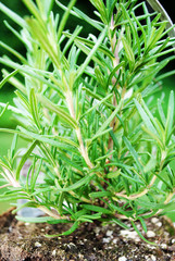 Close Up of Rosemary Growing in the Garden