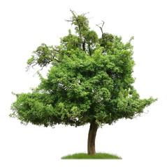 Uralter Birnbaum mit Misteln als Freisteller