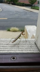 Praying Mantis on Doorstep