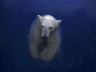 Poster de jardin Ours Blanc Swimming polar bear, white bear in water