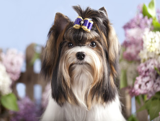 beaver yorkshire terrier and lilac flowers