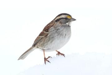 Fotoväggar - White-throated Sparrow (Zonotrichia albicollis)