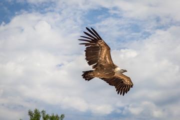 Le vol des rapaces du Bal des Oiseaux Fantômes du Puy du Fou