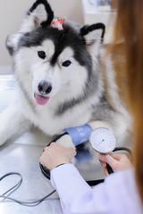 veterinarian examining cute siberian husky at hospital