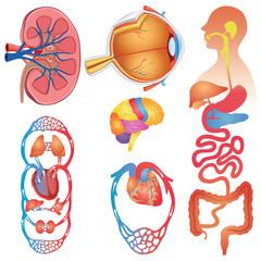 Human Body Parts Vector Set