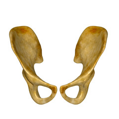 Pelvic hip bone
