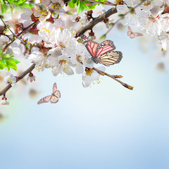 Fototapete - Apricot flowers in spring, floral background