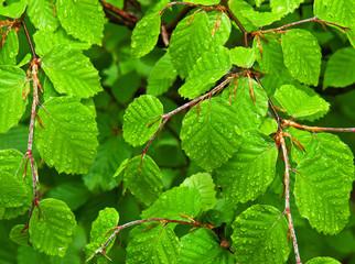 wet beech leaves