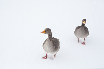 Goose in snow