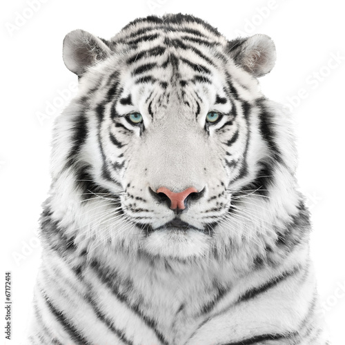 Wall mural Isolated white tiger