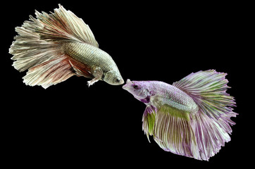 Two fighting fish, betta on black background