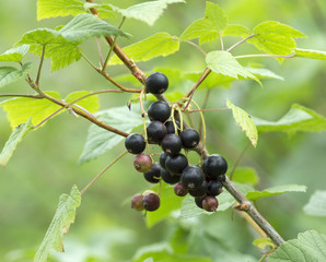 Black currant on the branch in the garden