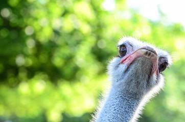 Funny ostrich portrait