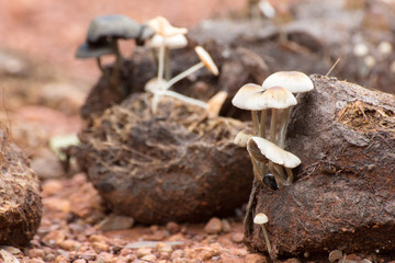 white mushrooms grow from Asian elephant dung on the rainforest