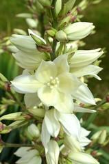 Blüten der Palmlilie