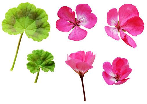 Geranium flowers and leaves