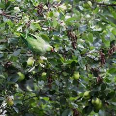 wilder Papagei in Deutschland