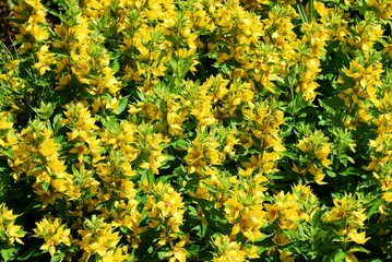 Yellow flowers with green leaves for backgrounds