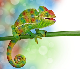 Fototapete - chameleon and colors